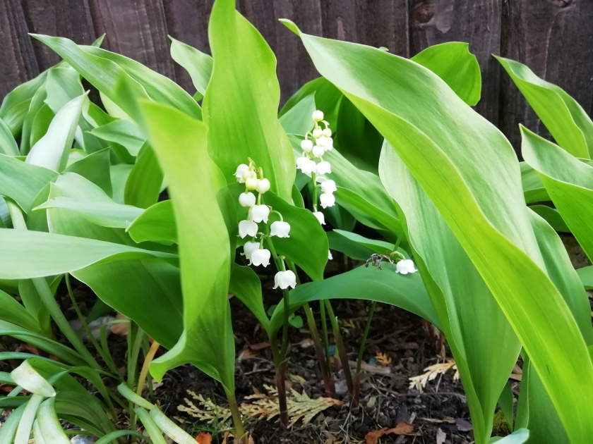 A small patch of Lily of the Valley flowers. The small white, bell-like flowers hang from a single stem, which in turn holds one or two broad, upright leaves that stand taller than the flower stem itself